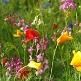 Seedbomb - kleine Blumenwiese